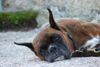 Bored Boxer