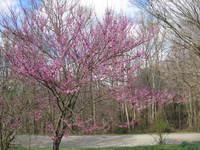 RedBud Tree 1