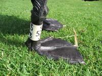 Swan's feet