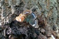 Butterfly Kaniska canace