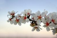 Flowers of almond tree