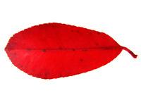 Leaf 105