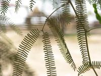 Acacia leaves in Negev desert