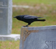 MadMaven's Raven