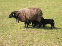 suckling sheep