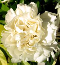 cream carnation
