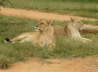 2 Lionesses