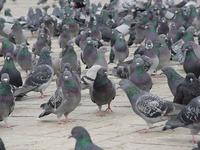 Pigeons walking