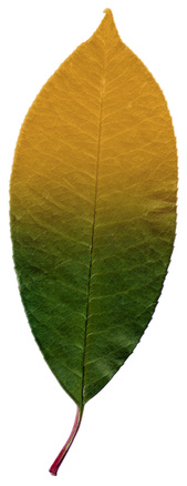 Pastel Leaf 5