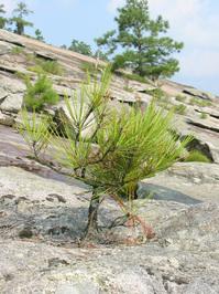 Stone Mountain Tiny Pine