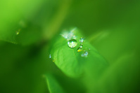 Leaf Pearl