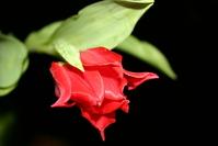 Dutch tulip1 3