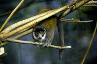 Lemur, Mongoose