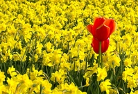 Red tulips in yellow