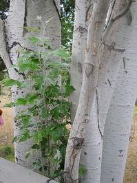Birch Trunk & Leaves