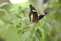 Thai Butterfly