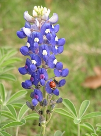 Bluebonnet + ladybug 1