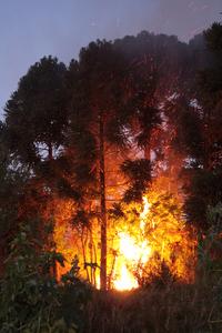 araucarias burning