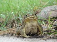 Frog / Sapo 2