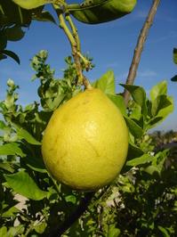 Lemon tree (very ripe ones) 2