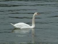 Swan (on a) Lake
