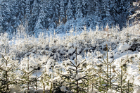 Snowy Spruce Forest in Winter