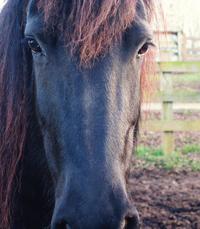 Friesian Horse Soul