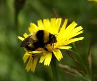bumple-bee