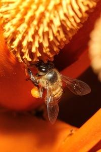 Wild Honey Bee(s) 9