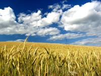 corn_field 2