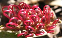 Australian Flowers 4