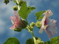 Flower DewDrops 1