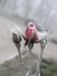 rose (frozen tenderness) 3