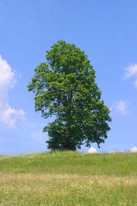 Tree Walchensee Germany 3