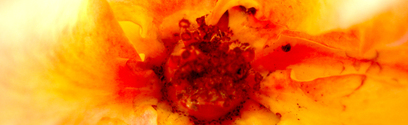 die rose 2