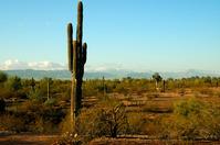 Saguaro cactus 2