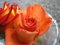 Rose II 3