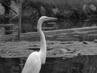 Swang