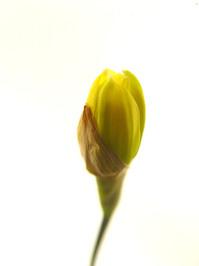 Daffodil serie