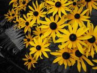Shriveled Yellow Flowers