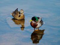 Mallards (ducks)