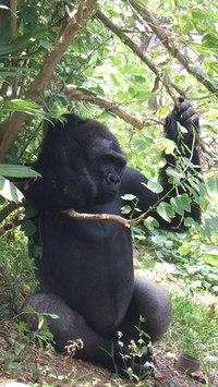 Gorilla - King Kong