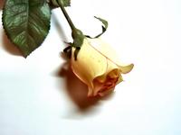 A fake yellow rose