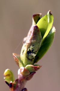 Bud opening
