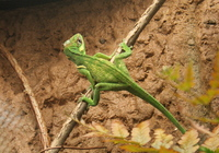 lizard balancing act