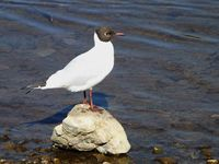 Black-headed gull (bird by water)