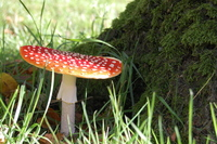 The Mushroom 3