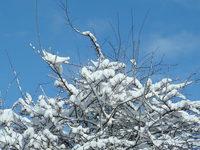 Snow on Tree
