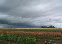 Tulip Farm 3