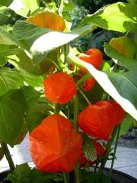 Lantern plants 1